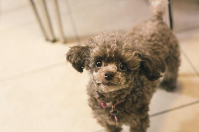 Chocolate, toy poodle | URBAN BAKES
