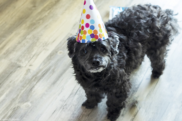 Grizz-Lee attending Chocolate's Birthday Party | URBAN FURBABY